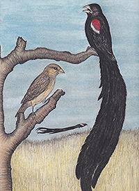 200Widowbirds American Birds _20190221_0