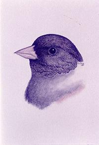 200croppedNeighborhood Birds Dark-eyed J
