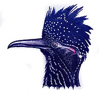 200croppedVillages Bird Families Roadrun