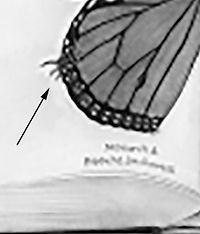 monarch larvae detail.jpg