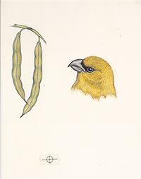200cropped168 Palila American Birds _201