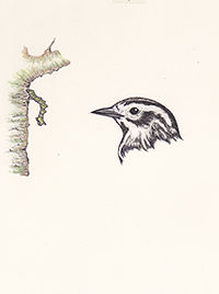 200cropped166 Black and White Warbler  A