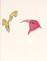 200cropped167_I'iwi_American_Birds__2019
