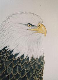 200Birding through a lifetime-Bald Eagle