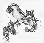 low resGreat Grey Shrike adding a shrew