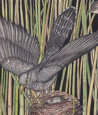 200Mimicry Cuckoo American Birds _201902