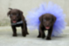 Two chocolate Labrador puppies wearing b