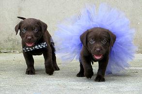 Two chocolate Labrador puppies wearing b