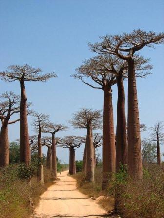 Boabab+trees,+Madagascar.jpg