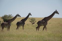 Sala's Camp. Wildlife. Giraffe-3