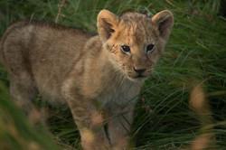 Sala's Camp. Wildlife. Lions-28