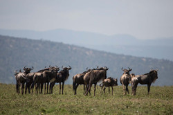 Sala's Camp. Wildlife. Wildebeest-14