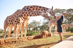 Giraffe love during afternoon tea