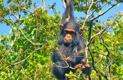 chimapnzee-congo-virunga