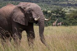 Sala's Camp. Wildlife. Elephant-8