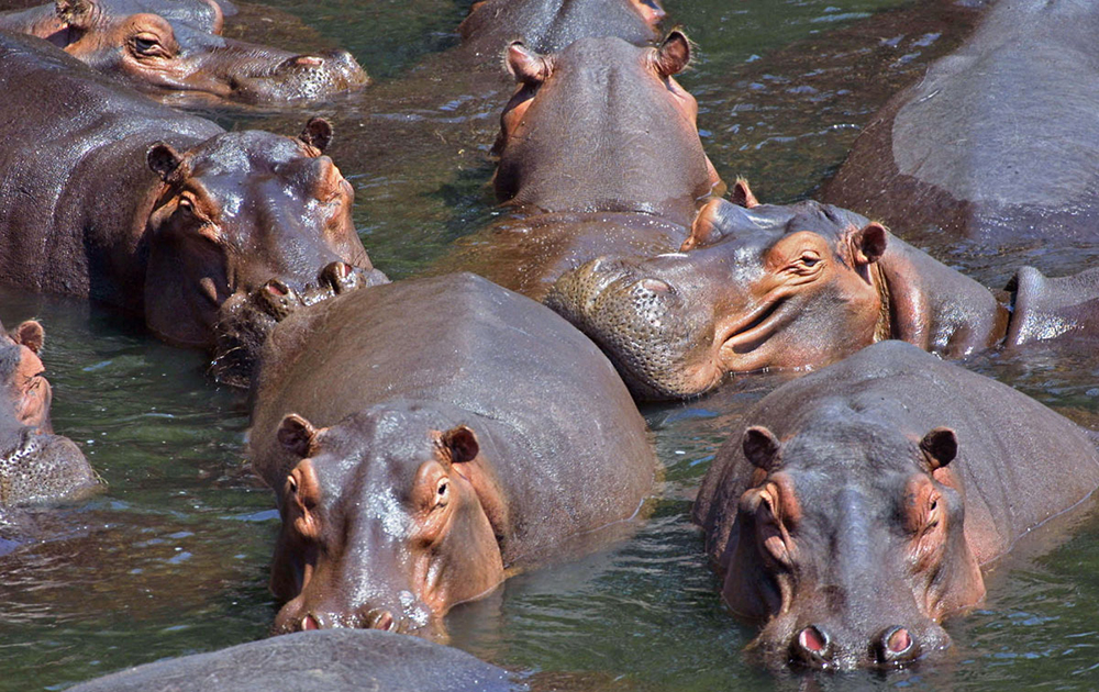 lulimbi-hippo