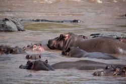 Sala's Camp. Wildlife. Hippos