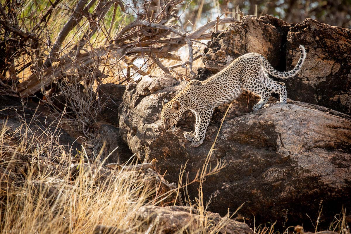 Leopard in the Samburu Wilderness