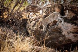 Leopard in the Samburu Wilderness