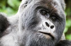 Virunga-photos-congo-safari-gorilla-silv