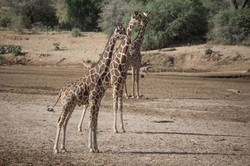 Magestic giraffe
