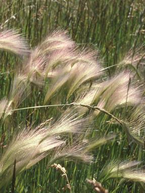 foxtail-barley1jpg