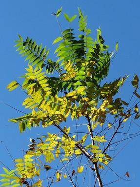 tree-of-heaven2jpg