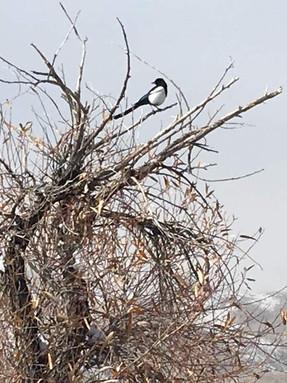 black-billed-magpie2jpg