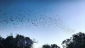 Bats at Cottonwood.jpeg