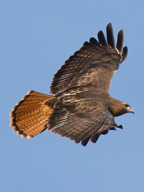 red-tailed-hawk2jpg