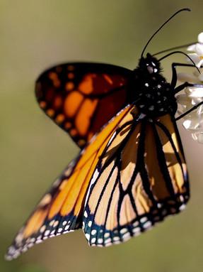 monarch-butterfly1jpg