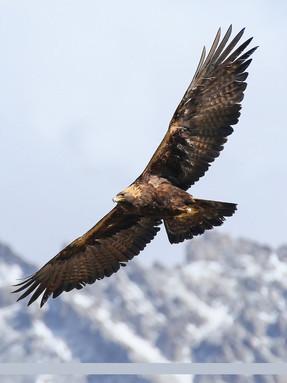golden-eagle-profile-2.jpg
