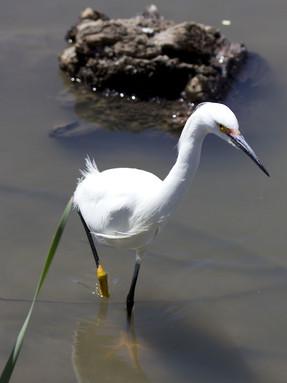 snowy-egret1jpg
