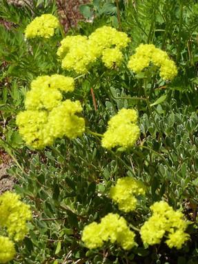 sulfur-buckwheat1jpg