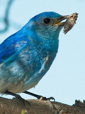 mountain-bluebird2jpg