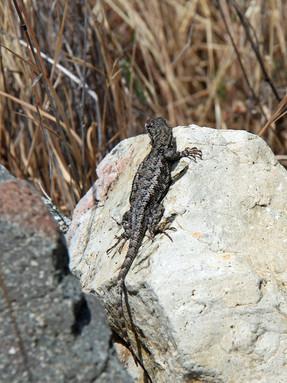 western-fence-lizard1jpg