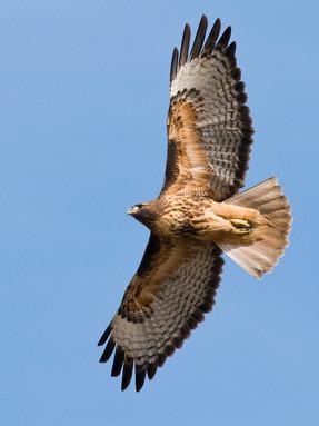 red-tailed-hawk3jpg