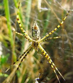 Garden Spider (low)