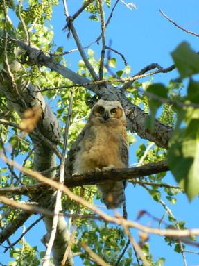 great-horned-owl2jpg