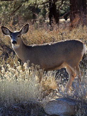 mule-deer1jpg