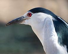 black-crowned-night-heron-3262671_1280.j