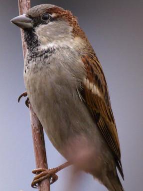 house-sparrow-profile-2.jpg