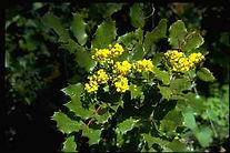 oregon grape.jpg