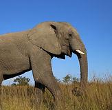 african-elephant-2420592_960_720_edited.