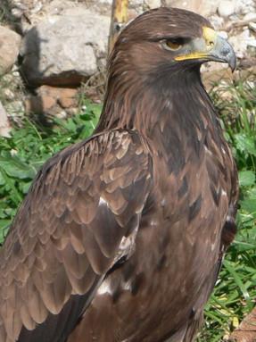 golden-eagle-main.jpg