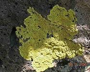 Pleopsidium_chlorophanum lichen.jpg