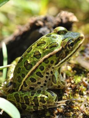 northern-leopard-frog1jpg
