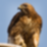 Red-tailed Hawk.png