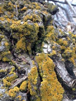 Lichen on tree at Dorosktar 2