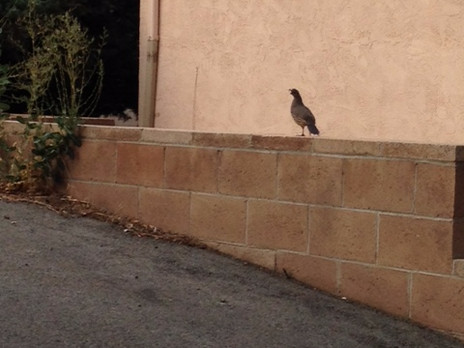 The California Quail Welcomes Me to TMPF (& Reno)
